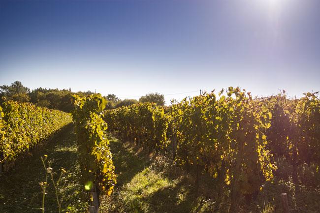 chateau-petit-boyer-vignes-vin